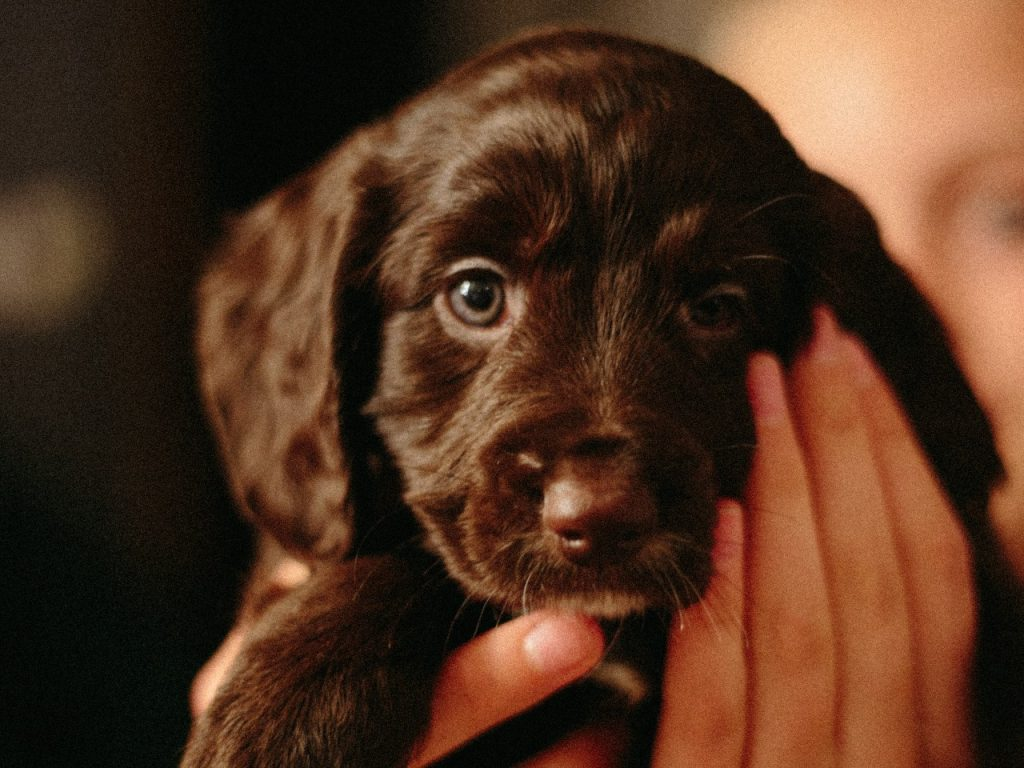 brown puppy being held