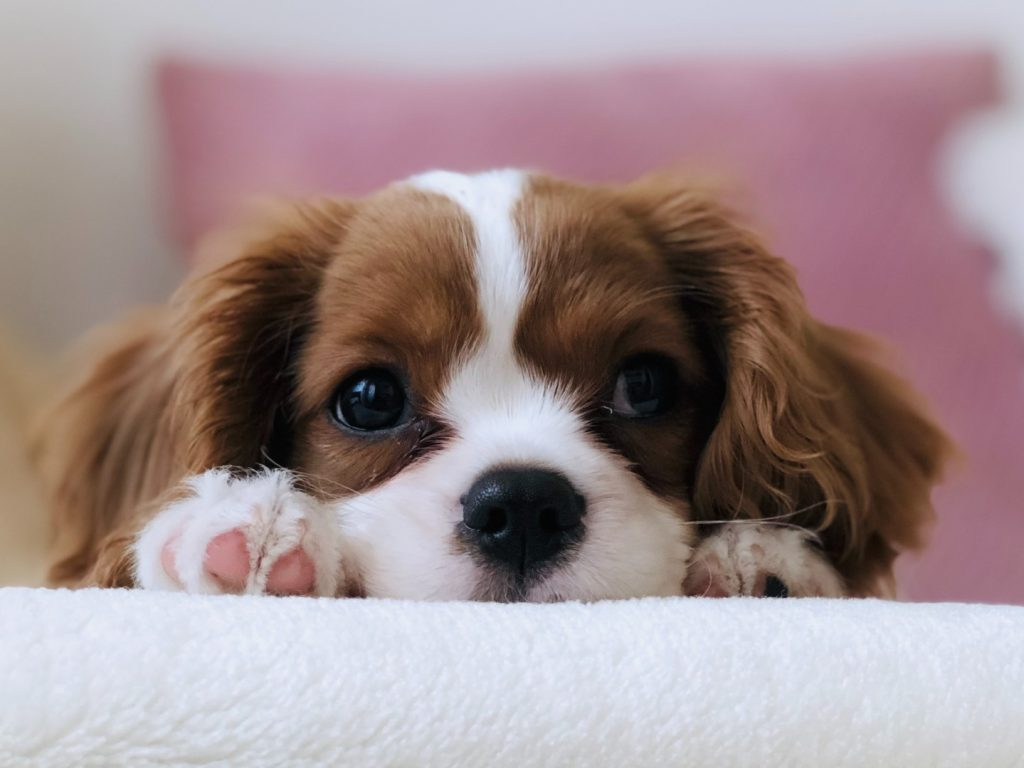 cavalier puppy lying down pink piillow