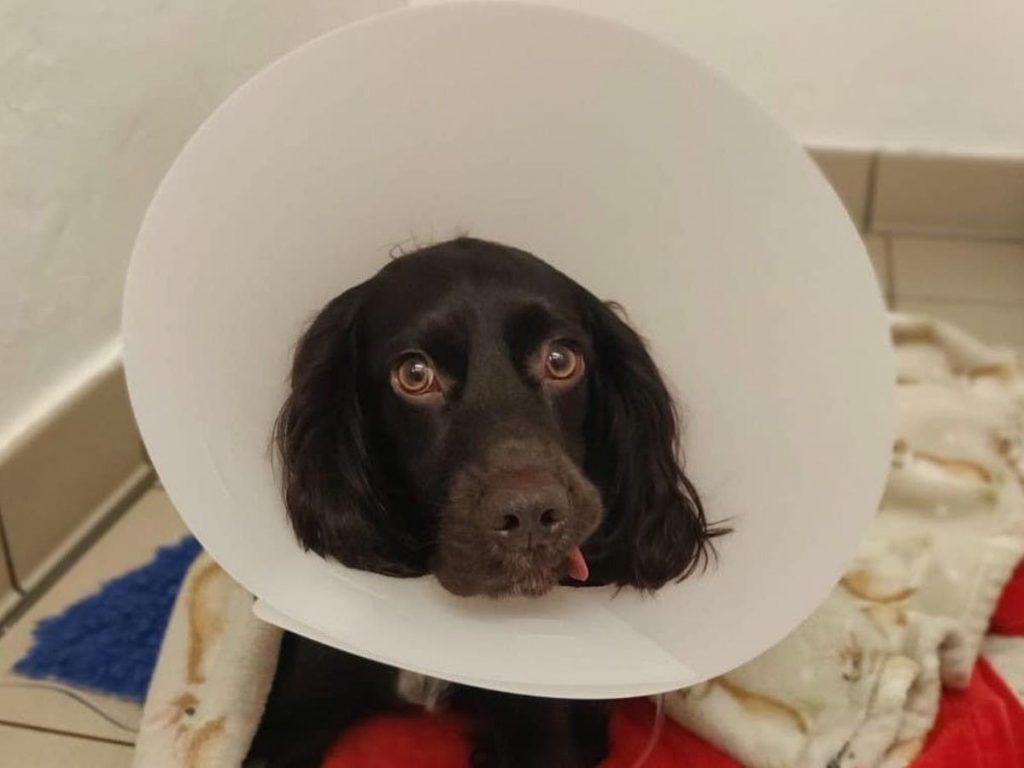 dog with cone around head PDSA