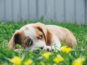 Pet Anxiety Dog in the Grass