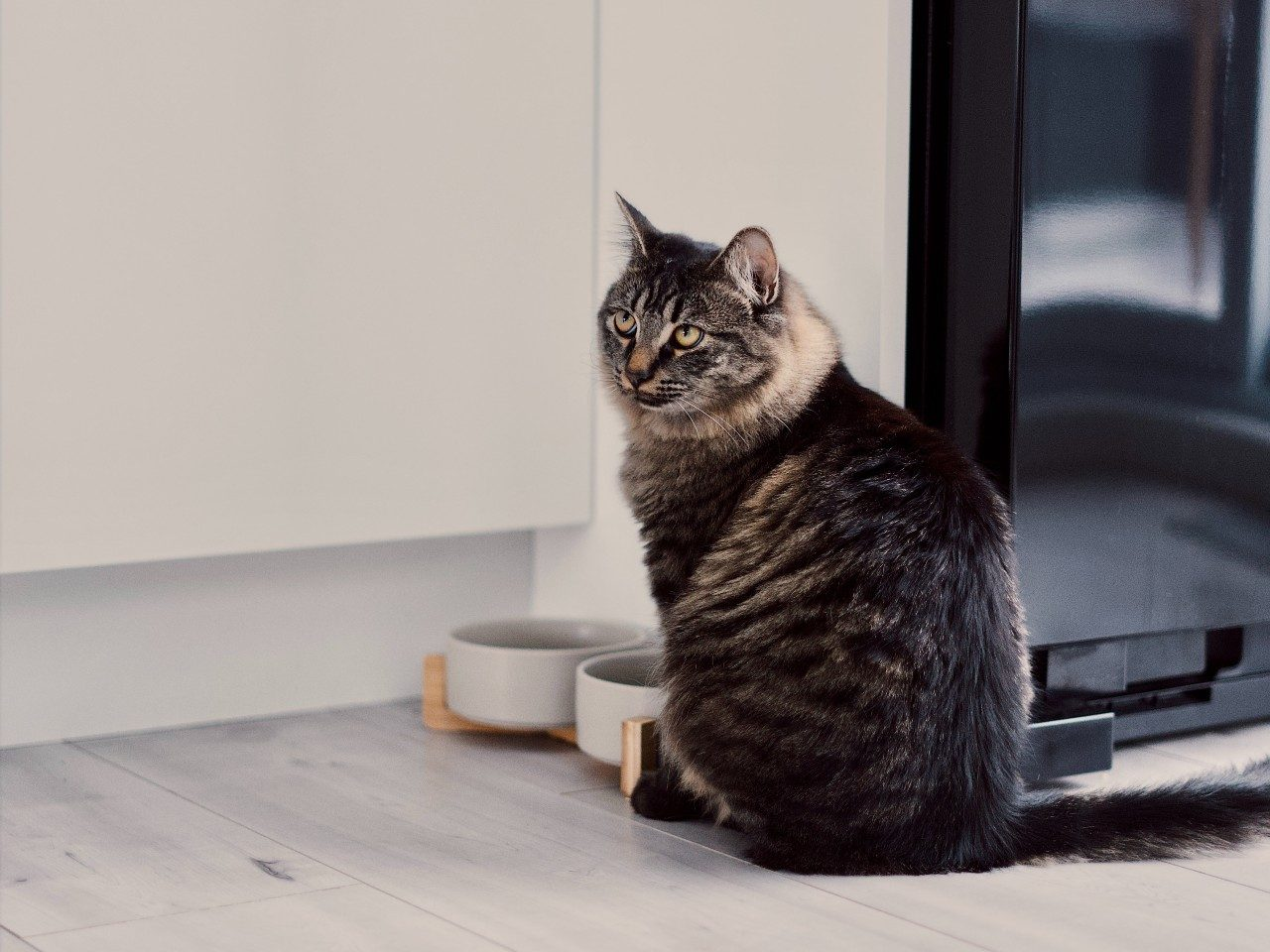 cat food at bowl