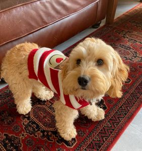 cockapoo in red and white jumper