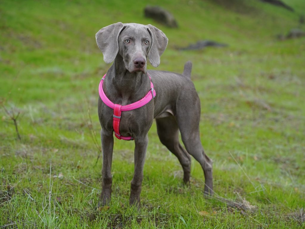 Great dane - large breed puppy