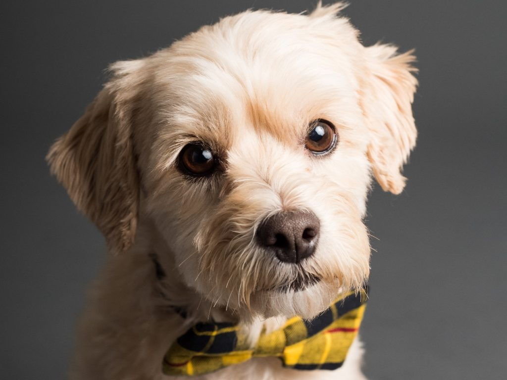 male dog with a yellow dickie bow