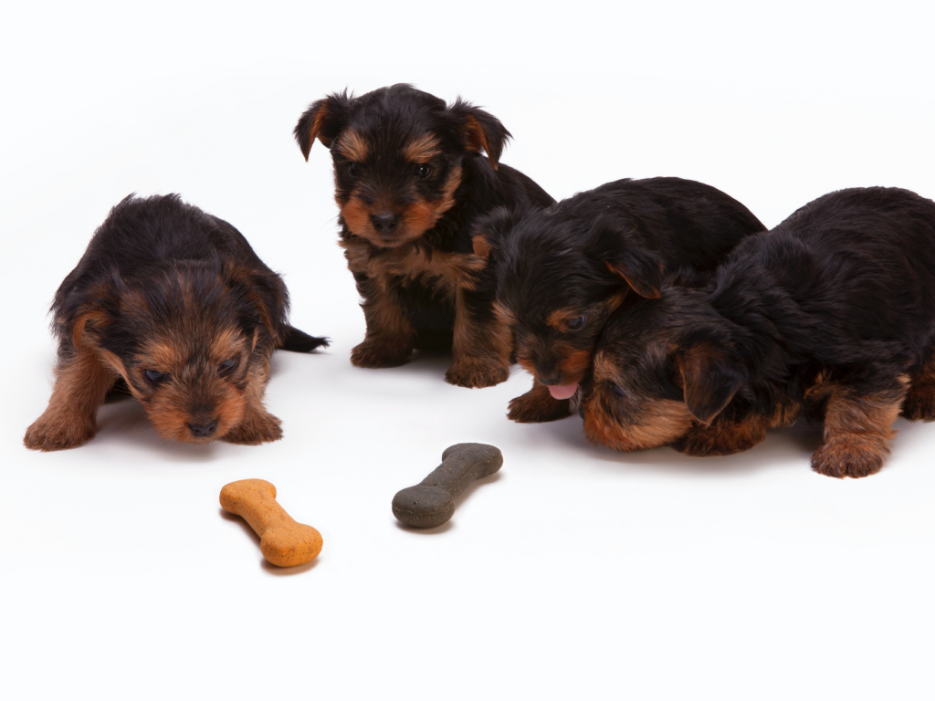 puppies eating biscuits