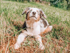 puppy blue eyes in grass
