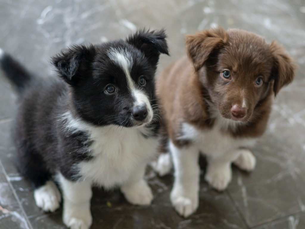 two puppies one black one brown