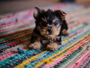 yorkie puppy on colourful mat