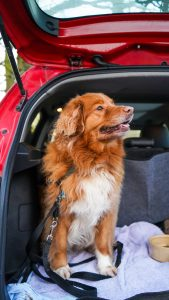 orange and white dog in the boot of a red car