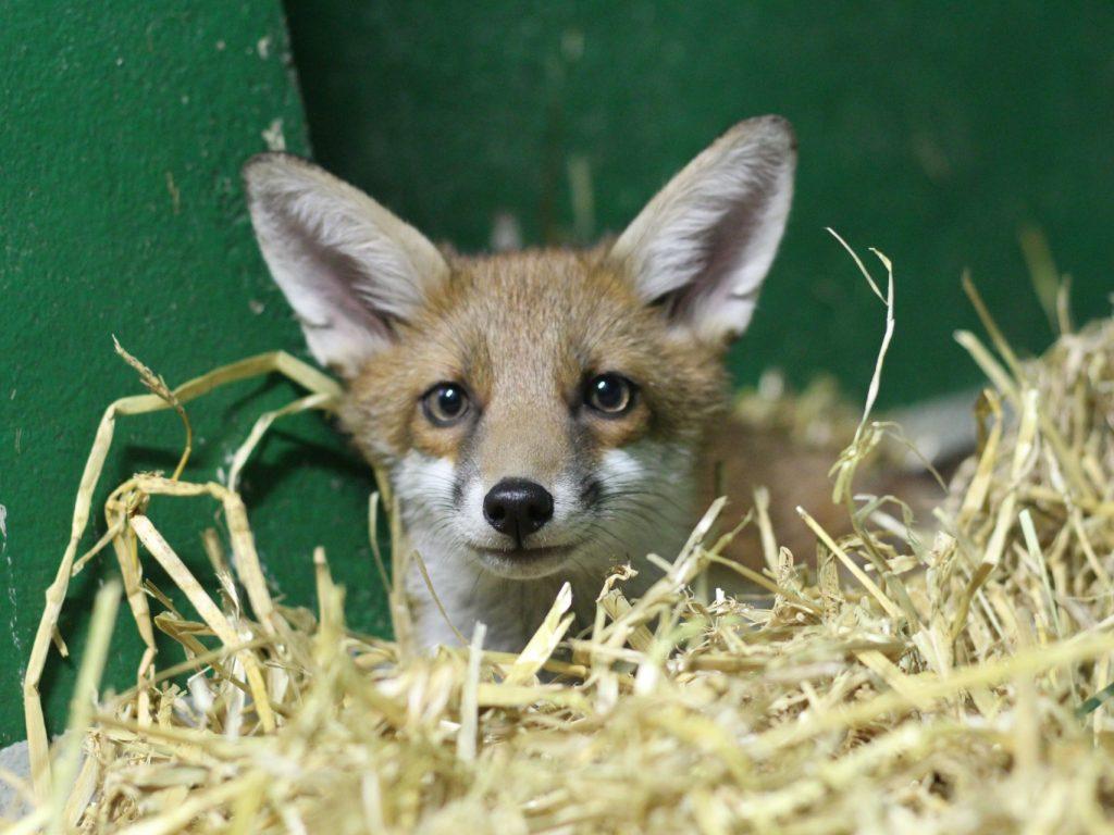 fox in hay