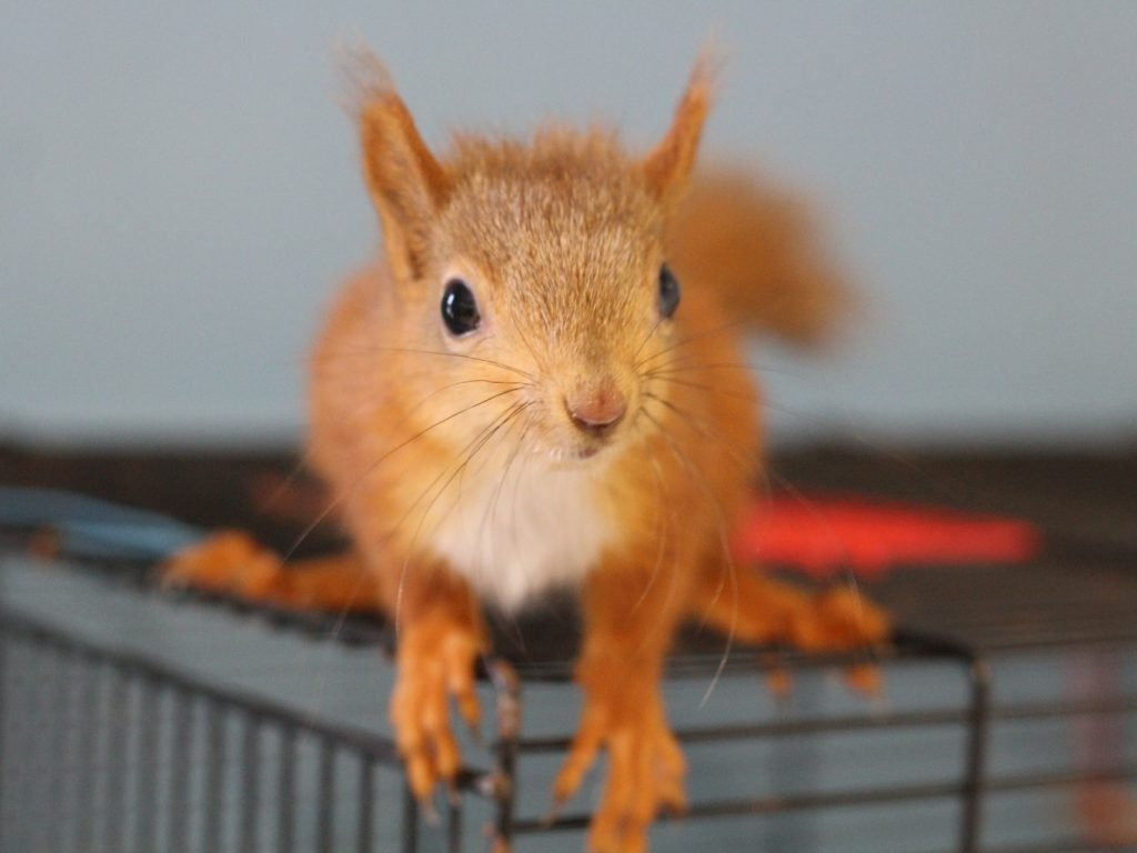 red squirrel on cage