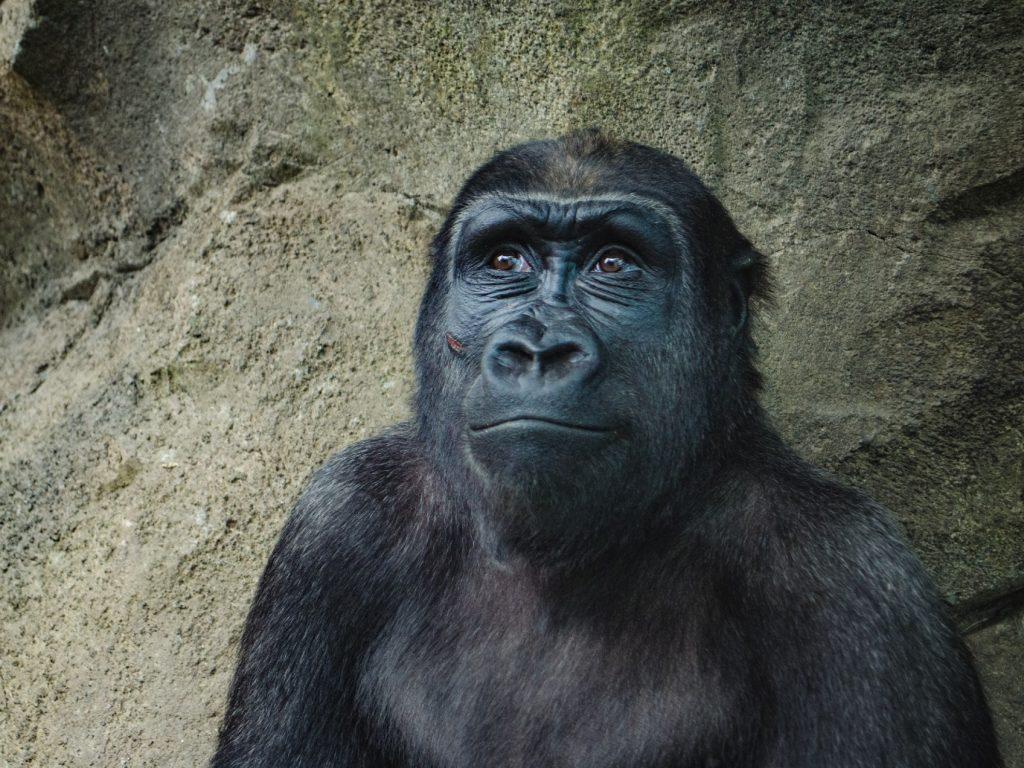 happy ape monkey