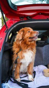 dog in car boot