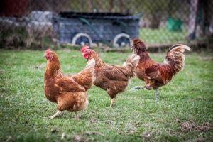 hens and chicken walking around the garden