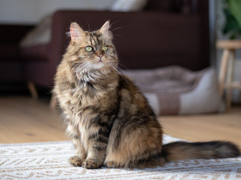 maine coon cat sitting on rug