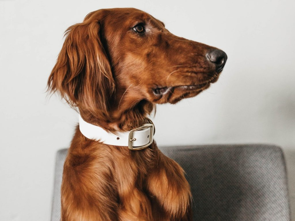 red haired dog with glossy coat