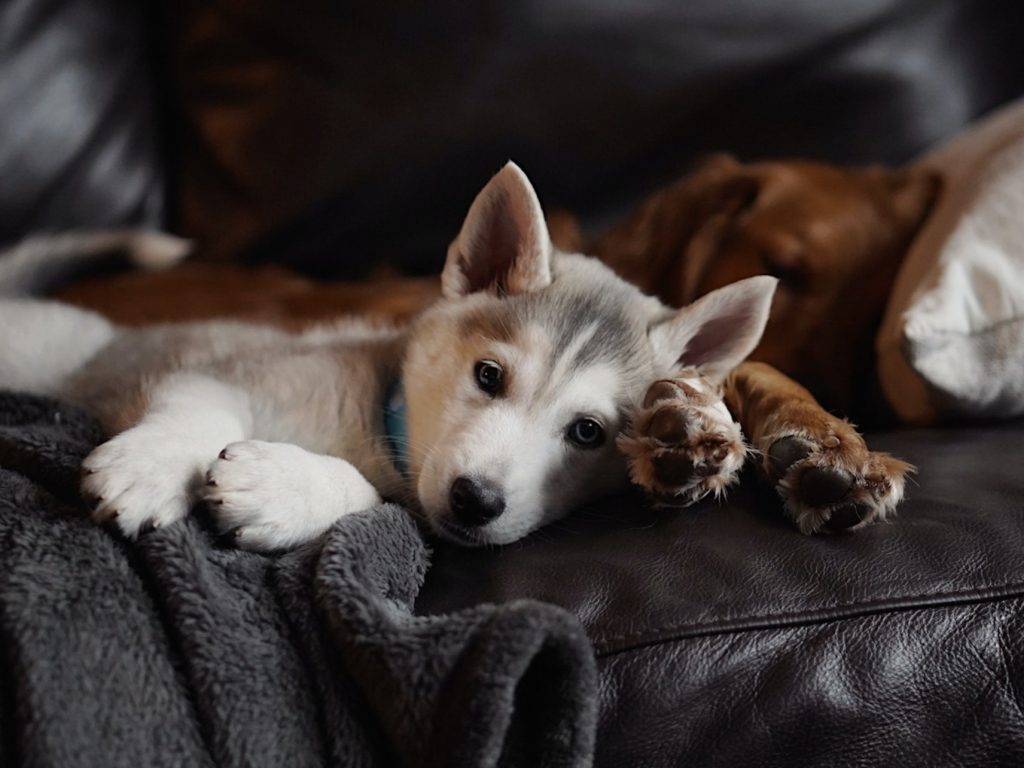 two dogs lying on the couch