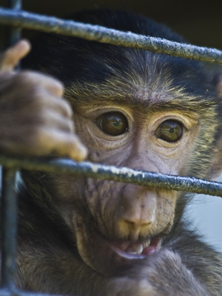 Monkey looking out of cage