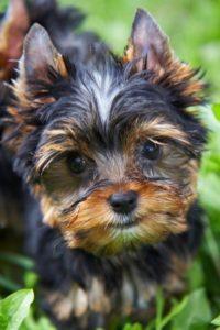 little terrier dog worms