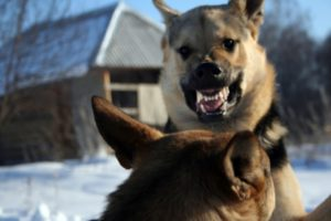 two angry dogs fighting with each other in the show